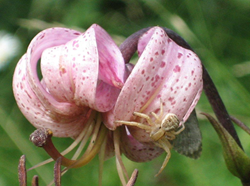 Lilja-med-spindel